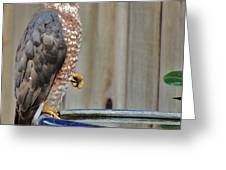 Coopers Hawk 4 Greeting Card by Helen Carson