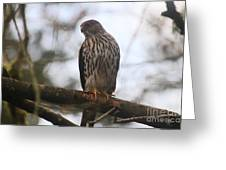 Cooper's  Hawk Dines Here Greeting Card