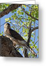 Cooper's Hawk In A Cottonwood Greeting Card