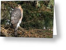 Coopers Hawk In Predator Mode Greeting Card