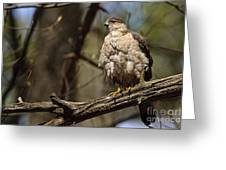 Coopers Hawk Pictures 124 Greeting Card