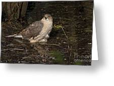 Coopers Hawk Pictures 135 Greeting Card