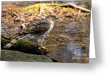 Coopers Hawk Pictures 61 Greeting Card