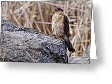 Coopers Hawk Pictures 91 Greeting Card