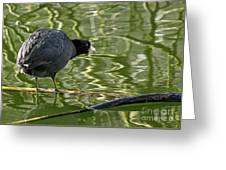 Coot Calling Greeting Card