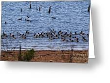 Coots On The Water Greeting Card