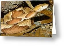 Copperhead Snake Greeting Card