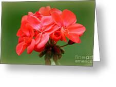 Coral Geraniums Greeting Card