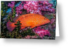 Coral Trout In Similan Islands Greeting Card