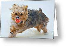 Corky The Yorky Greeting Card by Don Wolf