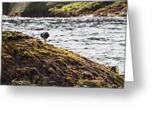 Cormorant - Montague Island - Australia Greeting Card