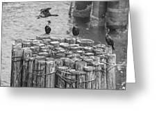 Cormorant Landing Black And White Greeting Card