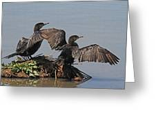 Cormorants Sunbathing Greeting Card