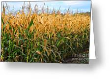 Corn Harvest Greeting Card by Terri Gostola