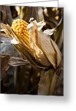 Corn In Husk Greeting Card