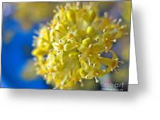 Cornelian Cherry. Cornus Mas. European Cornel Greeting Card