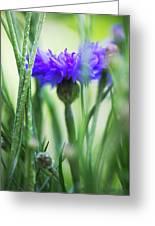 Cornflower (centaurea Cyanus) Greeting Card