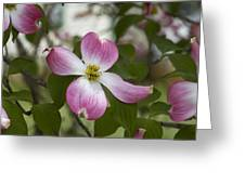 Cornus Florida - Pink Dogwood Blossoms Greeting Card