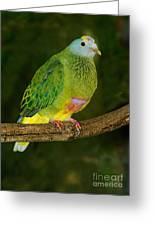 Coronated Fruit Dove Greeting Card