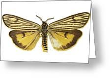 Coscinia Striata Moth Greeting Card