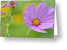 Cosmos Flower In Full Bloom And Bud Greeting Card