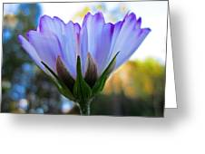 Cosmos Petals Up Greeting Card