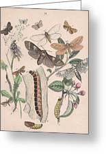 Cossidae - Cochliopodidae - Hepialidae - Psychidae Greeting Card