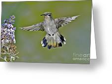 Costas Hummingbird Greeting Card