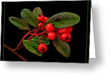 Cotoneaster Greeting Card