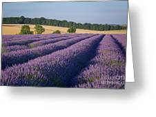 Cotswolds Lavender Greeting Card