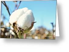 Cotton Boll I Greeting Card