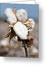 Cotton Bolls  Greeting Card