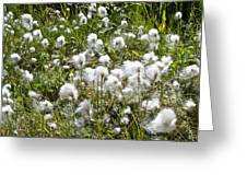 Cotton Grass On Homestead Trail In Homer-ak- Greeting Card