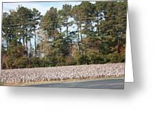 Cotton Season Greeting Card