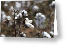 Cotton Southern Gold Greeting Card