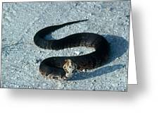 Cottonmouth Threat Display Greeting Card