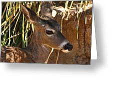Coues White-tailed Deer - Sonora Desert Museum - Arizona Greeting Card