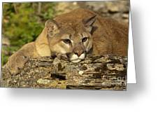 Cougar On Lichen Rock Greeting Card