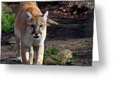 Cougar Walking Towards You Greeting Card