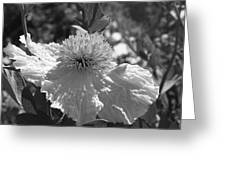 Coulter's Matilija Poppy 2 Greeting Card