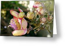 Couroupita Guianensis - Cannonball Tree Flowers Greeting Card