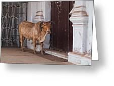 Cow At Church At Colva Greeting Card