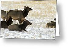 Cow Elk   #0460 Greeting Card