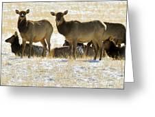 Cow Elk   #0479 Greeting Card