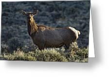 Cow Elk    #7533 Greeting Card