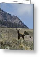 Cow Elk   #9488 Greeting Card