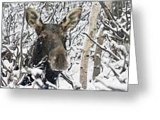 Cow Moose Among Snow Covered Trees In Greeting Card