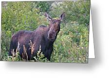 Cow Moose Portrait Greeting Card