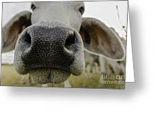 Cow Nose Greeting Card by Cindy Bryant