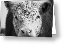 Cow Square Greeting Card